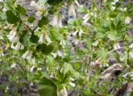 Wax currant, previously referred to as squaw currant, Ribes cereum.
