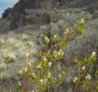 Serviceberry blooming in the coulee