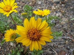 This balsamroot differs from the one we see here with a more delicate flower and the divided leaves