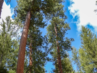 Ponderosa pines and a bluebird sky. What could be prettier?