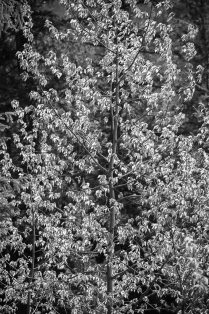 Cottonwood leaves in black and white