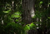 Cedar and sunlight