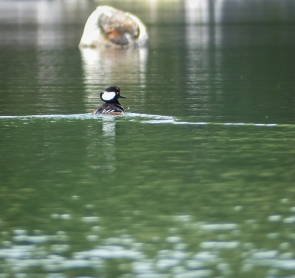 A male Hooded Merganser trying to get a female's attention.