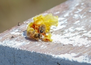 A small gob of wax attracts bees to the honey