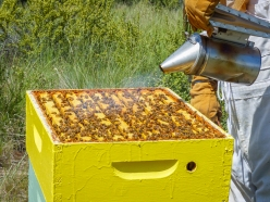 Smoking the bees makes them retreat into the hive and eat honey and leave the beekeeper alone. At least, that's what I've been told.