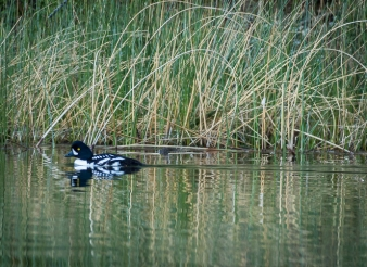 Barrow's Goldeneye male