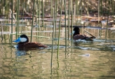 Ruddy Duck males