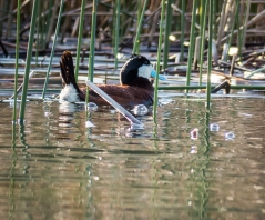 Ruddy Ducks are cute!
