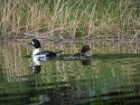 These two Barrow's Goldeneyes seem to be taking their time.