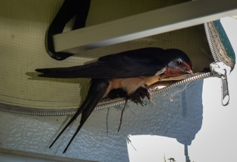 A pair of Barn Swallows attempted to build a nest under our canopy despite our attempts to discourage them.