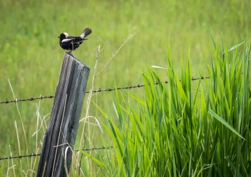 We stopped along the Aeneas Valley Road to look for Bobolinks and were not disappointed. Two or three males were displaying on the fence posts.