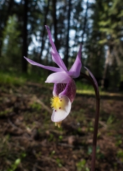 Fairyslipper, Calypso orchid. Lots of these in the campground.