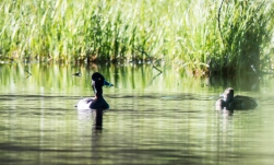 Ring-necked Ducks. The first time I've seen them at Lost Lake.