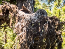Great Gray Owl on the nest.