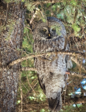 The male Great Gray Owl watches from nearby.