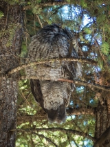 Great Gray Owl male