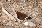 A worn butterfly. Morning cloak?