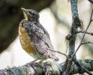 Newly fledged American Robin
