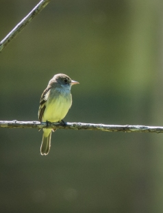 Willow Flycatcher?