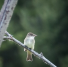 Flycatcher. Maybe Willow? I am not good at identifying Empidonax flycatchers