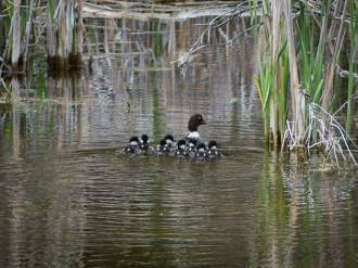 Barrow's Goldeneye family