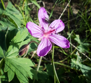 Wild geranium with a fly
