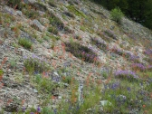 Along the road to the trailhead, scarlet gilia, various penstemons and lupine were blooming
