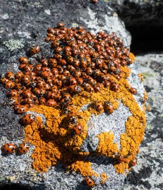 Ladybugs and orange lichen