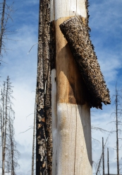 Bark peels evenly from a tree killed in the 2006 Tripod forest fire that burned nearly 200,000 acres on the Okanogan Forest