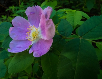 Wild rose. Can you smell its perfume?