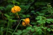 Tiger lilies. Lilium columbianum