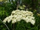 Elderflower. I made some cordial earlier this week.