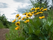 Balsamroot along the trail