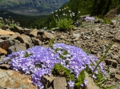 Phlox and pasqueflower