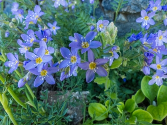 Jacob's ladder, Polemonium sp.