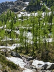 Alpine larch trees with their fresh green leaves