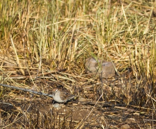 A single Chipping Sparrow. Normally I'd see at least two together