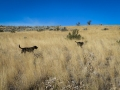 Two days ago the dogs and I finally walked uphill above the fire line into the tall grasses and sage