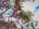 Chokecherries that survived the fire