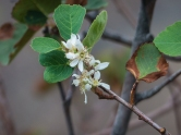 What triggered this serviceberry to start blooming?