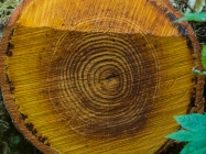 Big growth rings