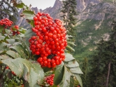 Mountain Ask berries