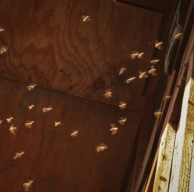 These honeybees set up housekeeping in the neighboring cabin a year ago