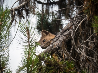 The pine marten watches Luna