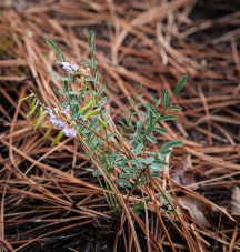 Tiny vetch