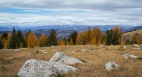 Alpine larch trees with fall colors