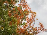 An unusual aspen showing reddish orange fall foliage