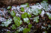 Snow on wild strawberries