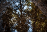 Reflection in a puddle full of fir needles