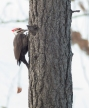 Pileated Woodpecker. On the bottom left you can see a chunk of bark just chipped off.